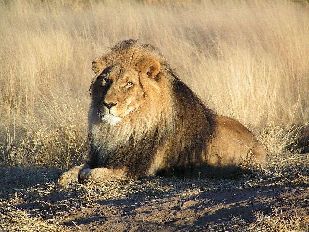 image of lion at rest